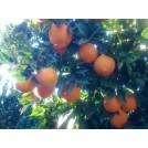Mandarina Loretina